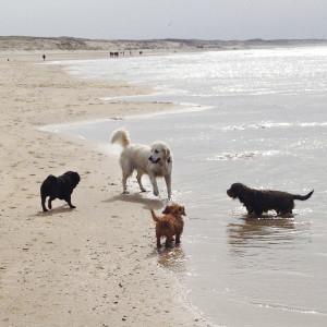 Strand Hondenuitlaatservice Haarlem dashing dogs