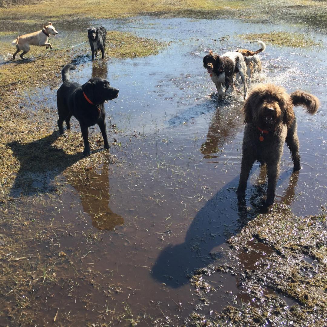 Hondenuitlaatservice in de duinen bij een meertje