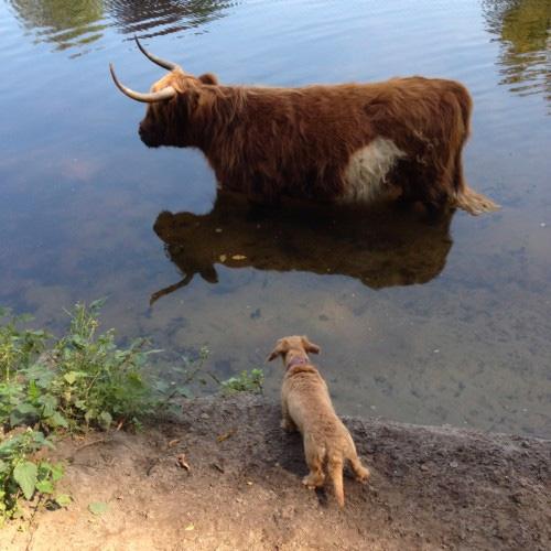 In het bos komen we ook wilde koeien tegen
